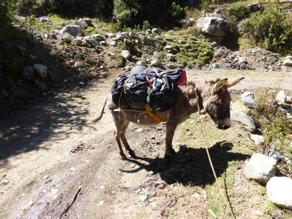 One of our two burros, comfortably loaded with gear.